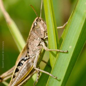 Locust Infestation